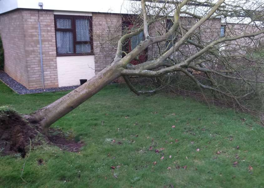 Trees blown town by Storm Doris in Ridley Road on Bury St Edmunds' Westley Estate'Picture by: Richard Fogelberg