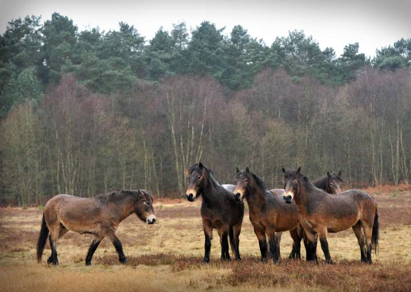 Knettishall Heath with Exmoor ponies introduced to help maintain it by grazing