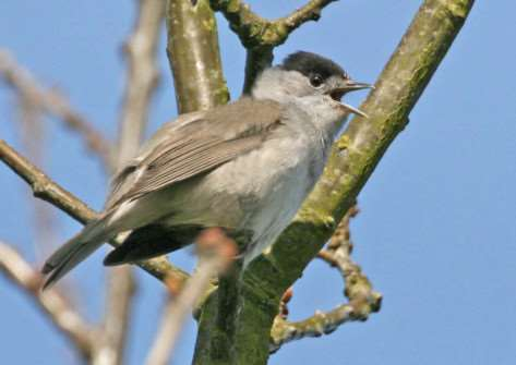 Blackcap by Pat Crofton/SWT ANL-150704-101010001