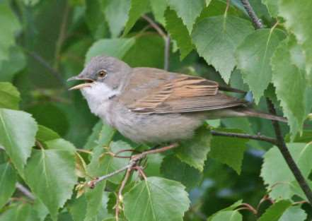Common whitethroat by Pat Crofton/SWT ANL-150704-101023001