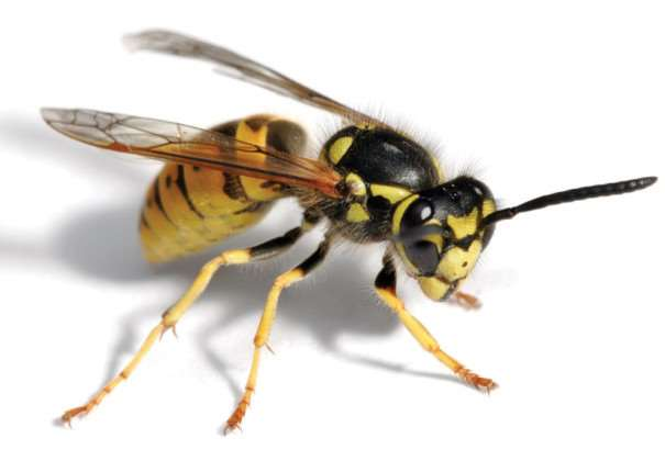 Wasp population could boom this summer say experts